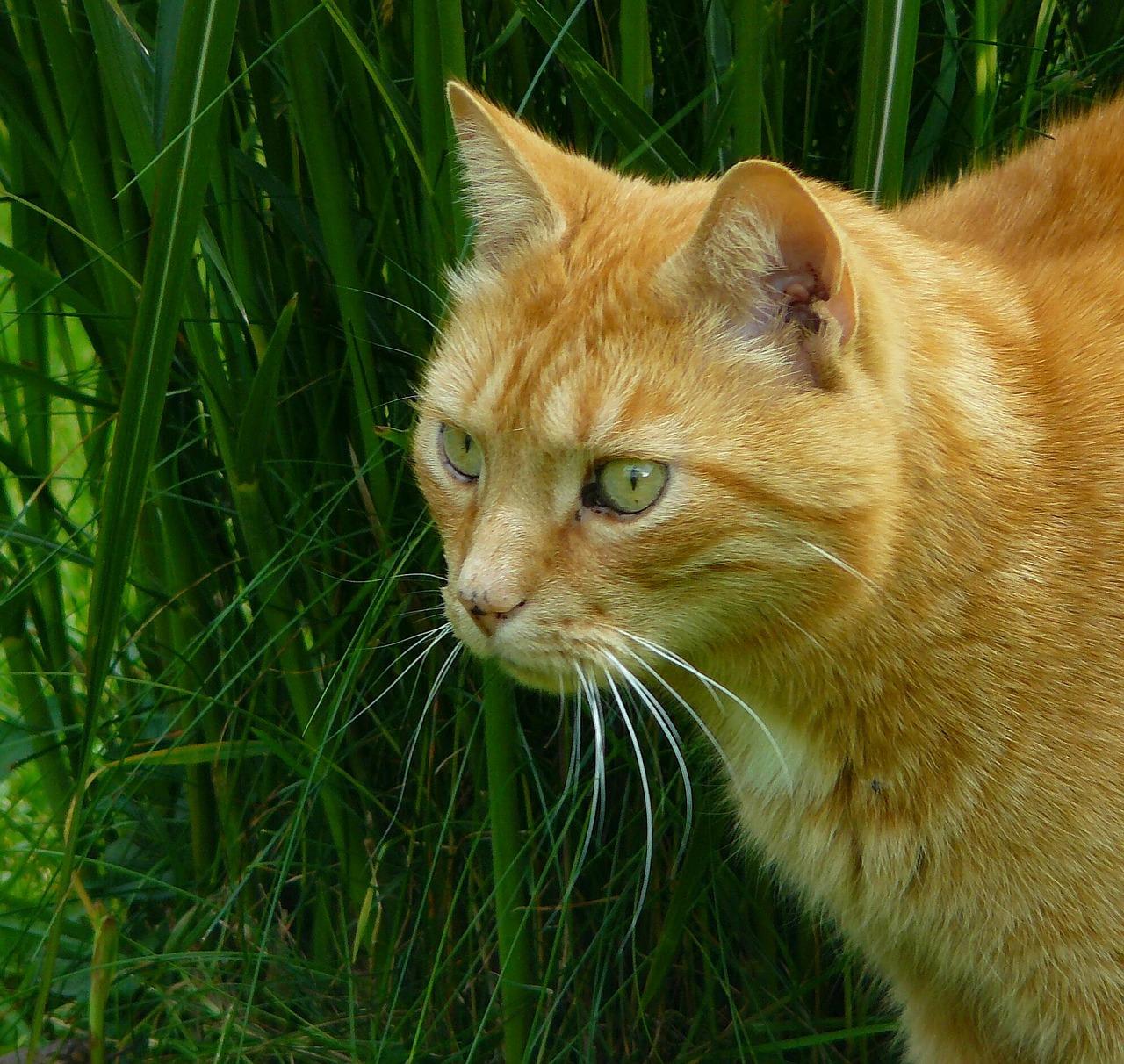 Mačka mainská mývalia európska krátkosrstá abesínska mačka 028c825c781